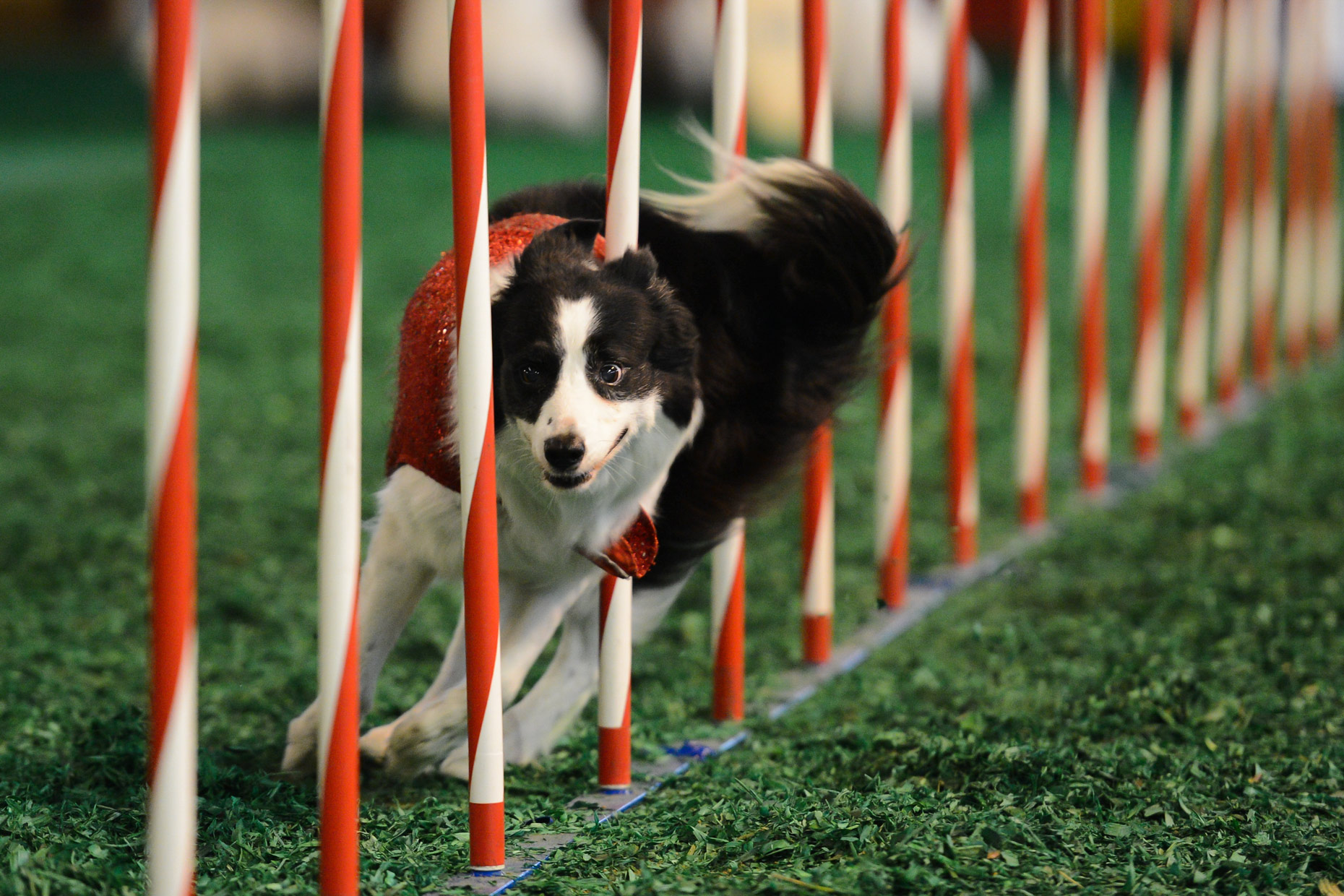Contest dogs at The State Fair of Texas. Photography by Kevin Brown