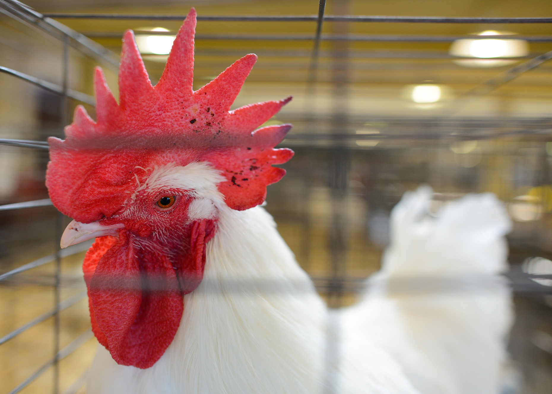 Poultry show at The State Fair of Texas. Photography by Kevin Brown